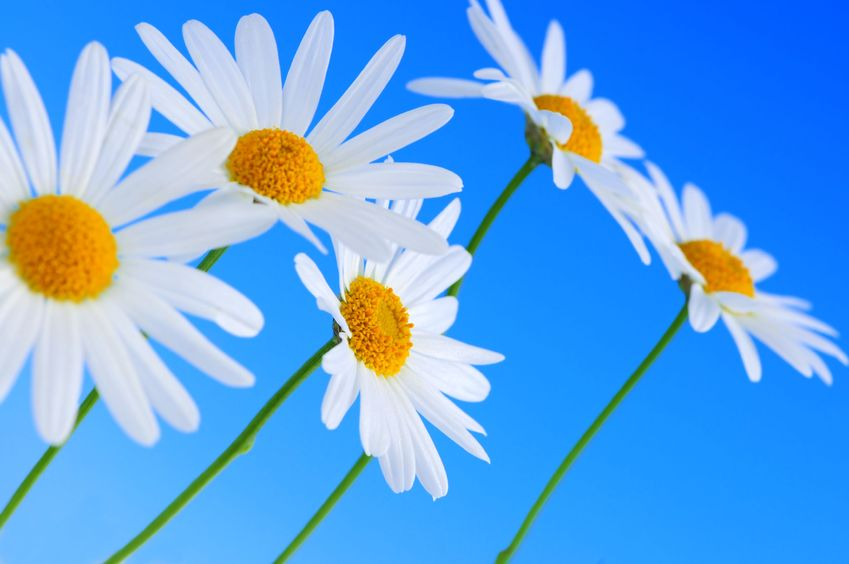 3069530 - daisy flowers in a row on light blue background